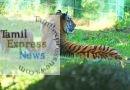 அரியவகை புலிக் குட்டிகளின் சேட்டைகளைக் காண சுற்றுலா பயணிகள் ஆர்வம்
